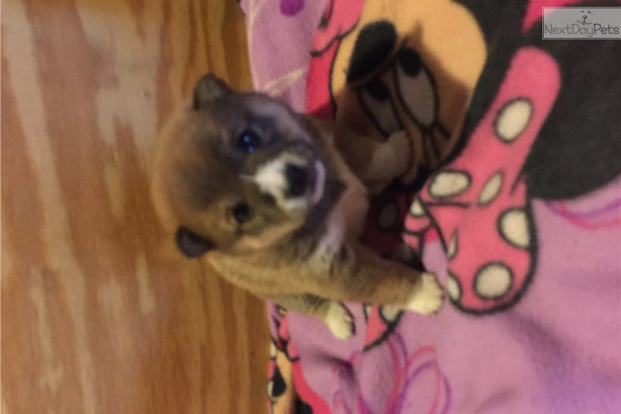 Kieko Shiba Inu Puppy For Sale Near Knoxville Tennessee 8cc7cd5a 2441