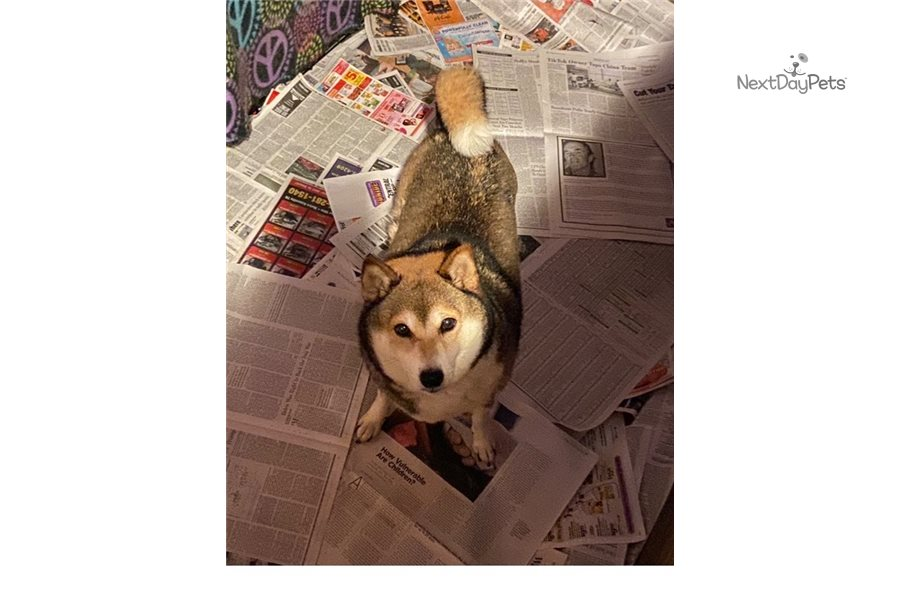 Akc Syrus Shiba Inu Puppy For Sale Near Knoxville Tennessee C5740358 99e1