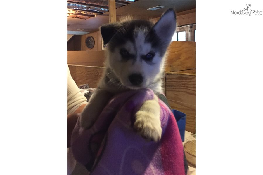 Husky For Siberian Sale Tn Puppies In Knoxville
