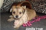 Picture of Jamilla t-cup beauty....texaspuppypal.com