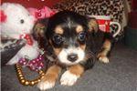 Picture of Ranger...Cutie Pie . texaspuppypal.com