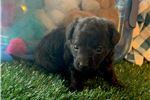 Picture of Smokey...cutie pie  texaspuppypal.com