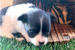 Picture of Chico  cutie pie  texaspuppypal.com