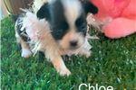 Picture of Chloe...Miss cutie pie.  texaspuppypal.com
