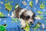 Picture of Millie Pending..texaspuppypal.com