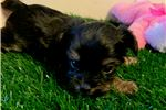 Picture of Tori T-cup Chorkie.  texaspuppypal.com