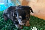 Picture of Chorkie Milo.....Mr. Playful.   texaspuppypal.com