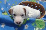 Picture of Buster -- texaspuppypal.com