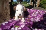 Picture of Gabby Jack Parson Russell  texaspuppypal.com
