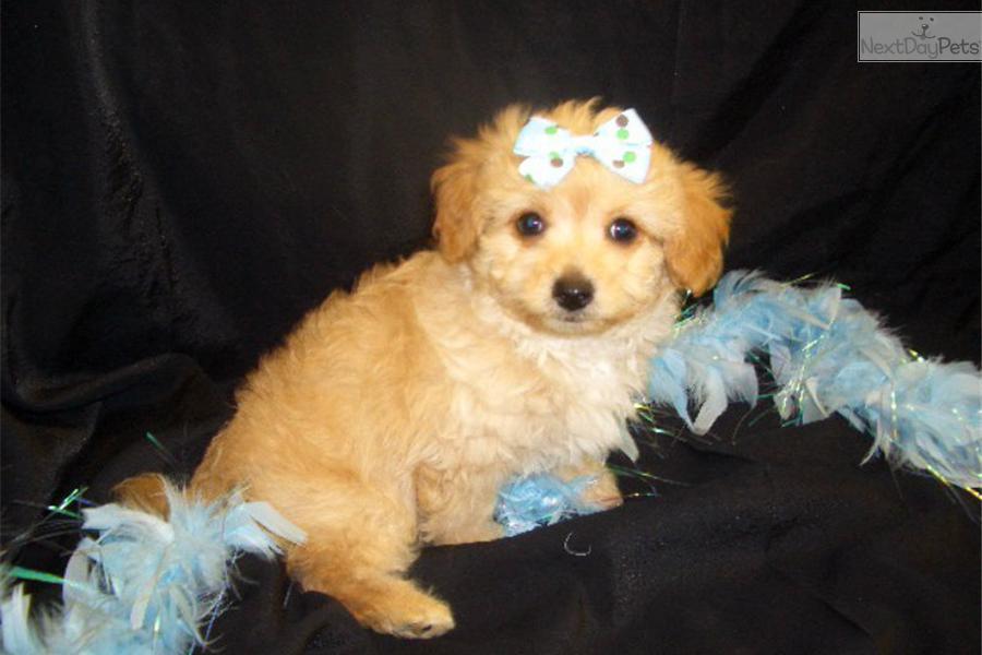 Chi Poo Chipoo Puppy For Sale Near Springfield Missouri
