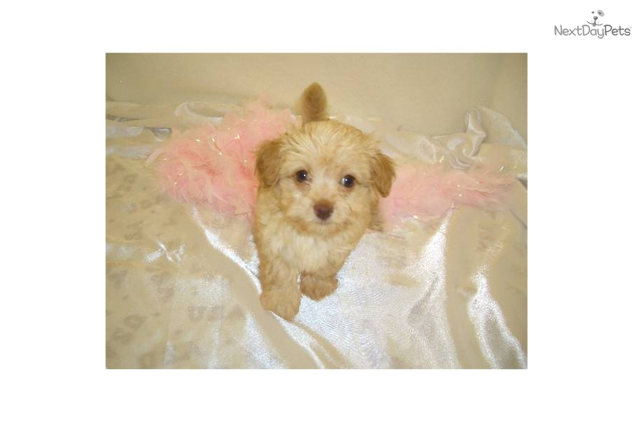 Meet Quot Katie Quot A Cute Chi Poo Chipoo Puppy For Sale For
