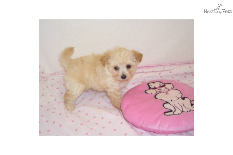 Chi Poo Chipoo Puppy For Sale Near Springfield Missouri