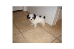 Picture of a Lhasa Apso Puppy