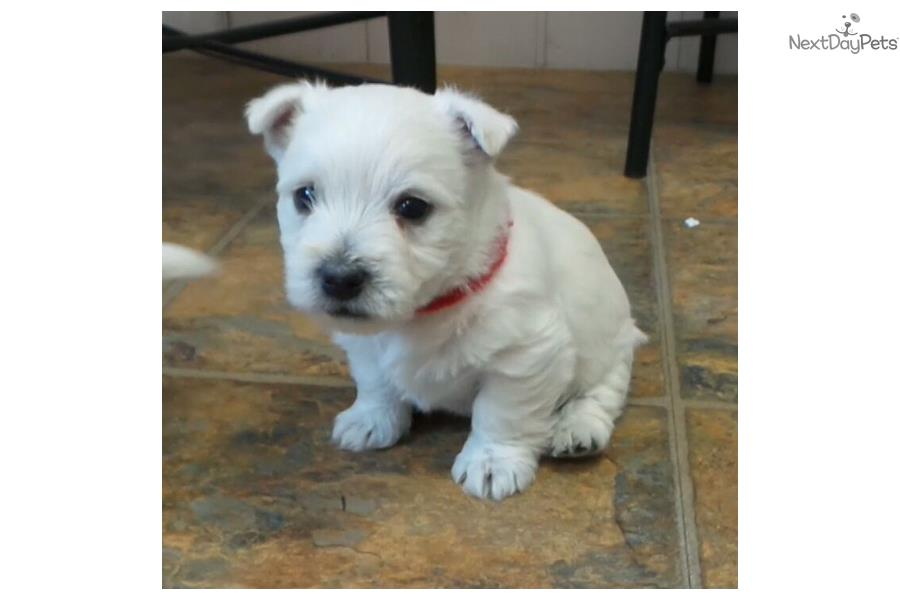 west highland terrier for sale near me west highland white terrier westie puppy for sale near 5671