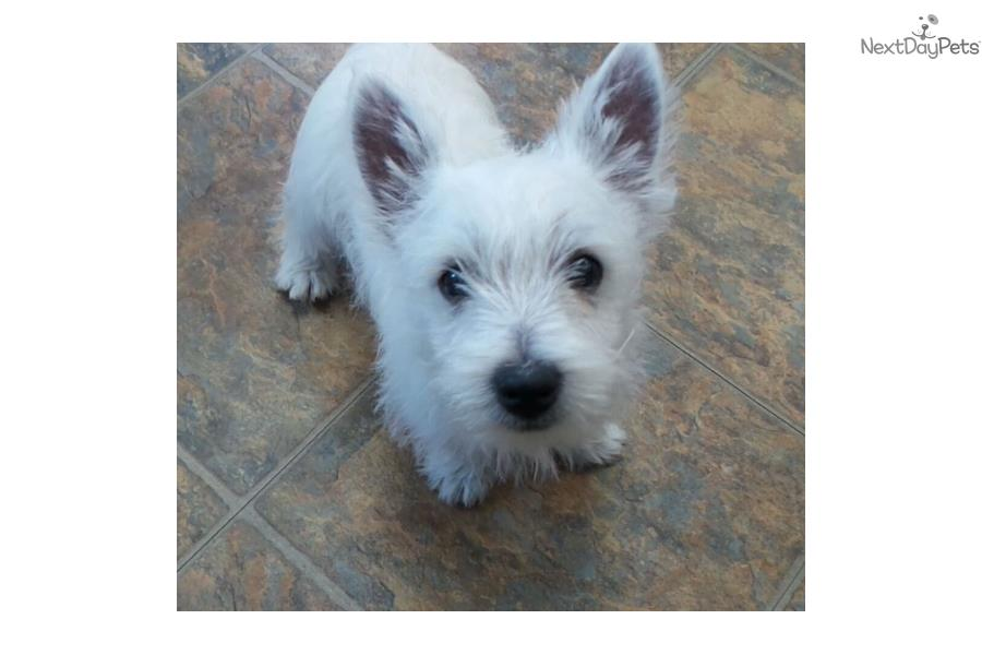 west highland terrier for sale near me west highland white terrier westie puppy for sale near 5948