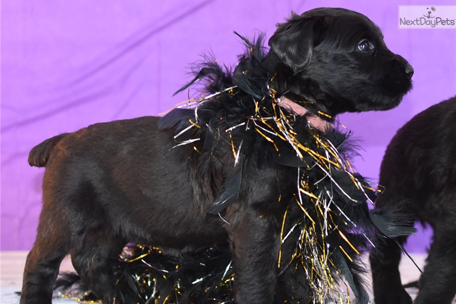 Giant Schnauzer Top Pedigree Show Dog Bloodlines For Sale