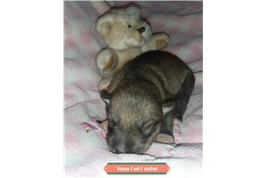 Varya female  | Puppy at 1 week of age for sale