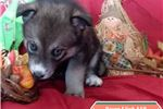 Picture of Raven Female Wolf Dog