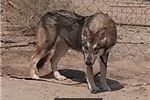 Picture of Tala Female Wolf Dog