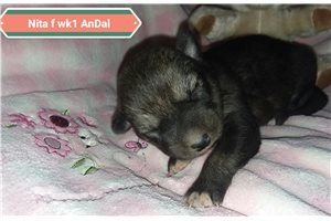 Nita female | Puppy at 1 week of age for sale