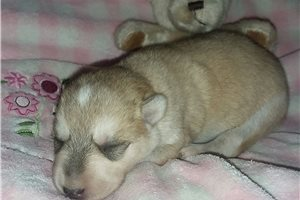 Dyani Pending | Puppy at 1 week of age for sale