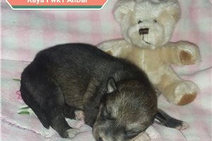Kaya female | Puppy at 1 week of age for sale