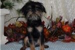 Picture of AKC GRACIE
