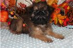 Picture of Belle - AKC