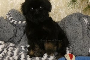 Picture of Faye AKC