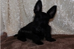 Picture of a Scottish Terrier Puppy