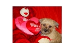 Picture of Maggie the female Cairn/Shihtzu