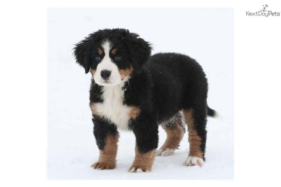 Bernese Mountain Dog Size Comparison