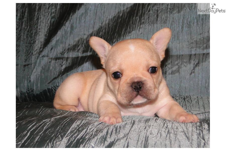 french bulldog mississippi french bulldog puppy for sale near hattiesburg 8050