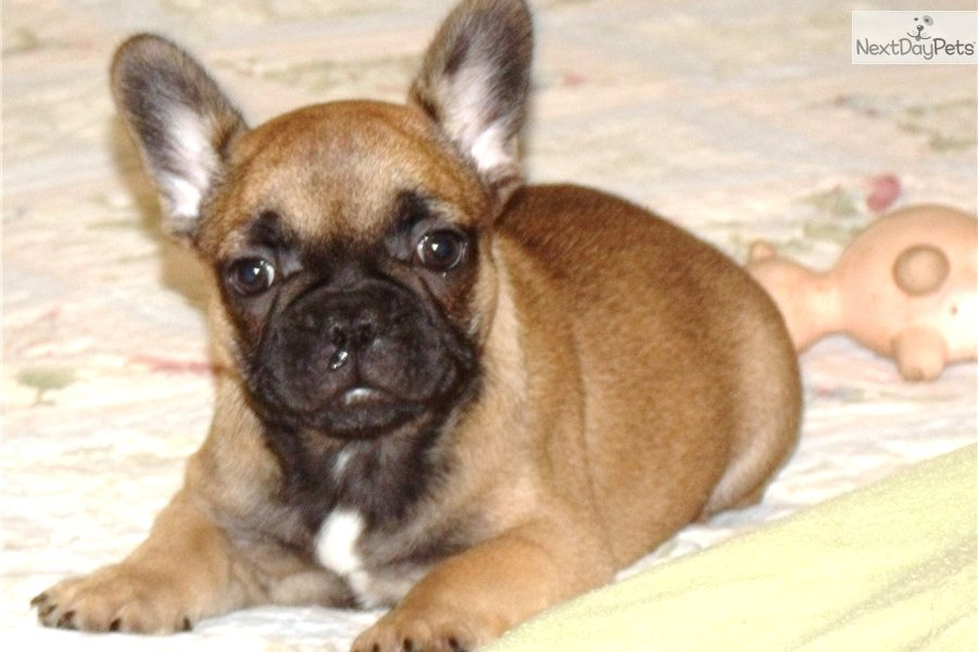 french bulldog mississippi french bulldog puppy for sale near hattiesburg 2568