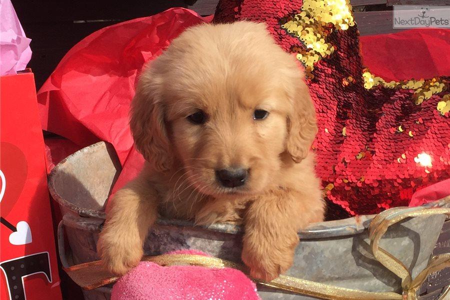 Golden Retriever Puppy For Sale Near Oklahoma City Oklahoma