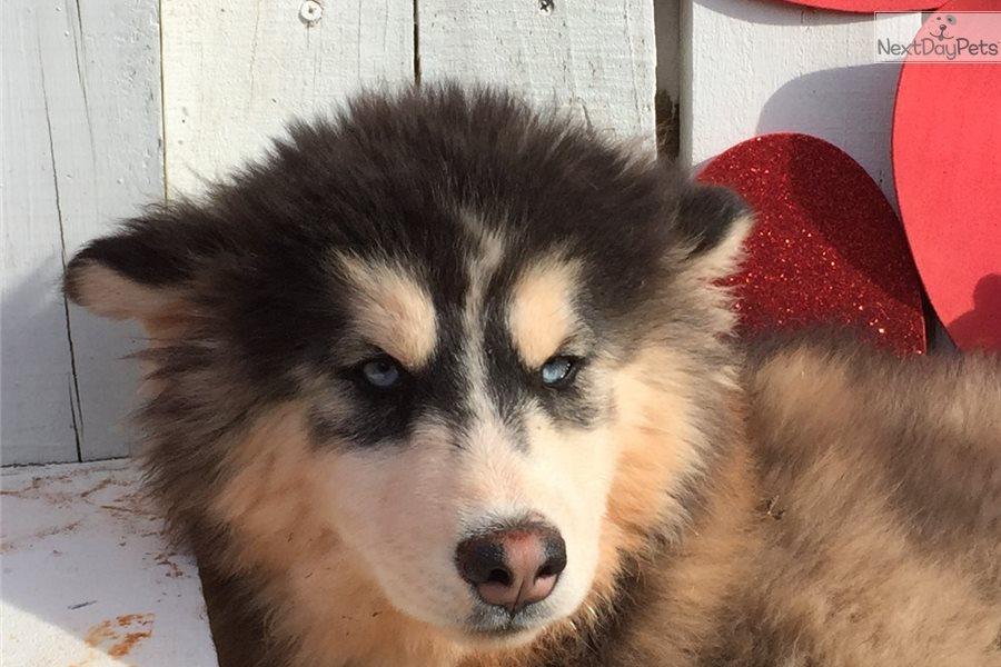 In Alaskan Husky Oklahoma Puppies For Sale