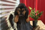 Picture of AKC Dolly