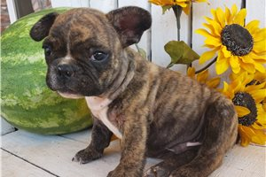 French Bulldog Puppies For Sale From Oklahoma City Oklahoma Breeders