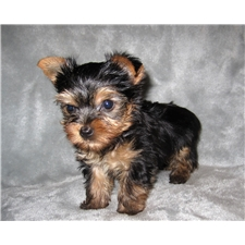 View full profile for Terrys Yorkies