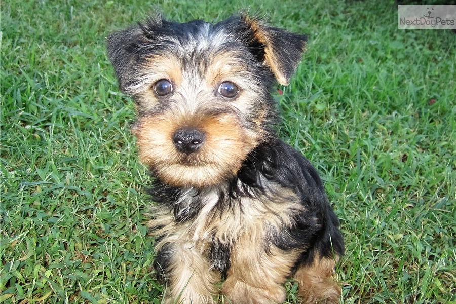 Biancas Boy 2 Yorkshire Terrier Yorkie Puppy For Sale Near St
