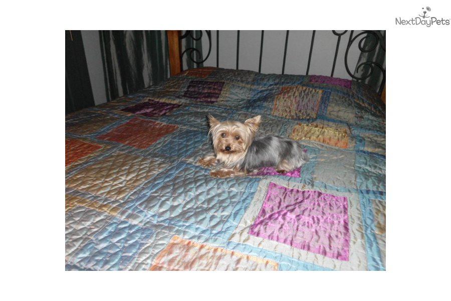 Share your adult sale terrier yorkshire