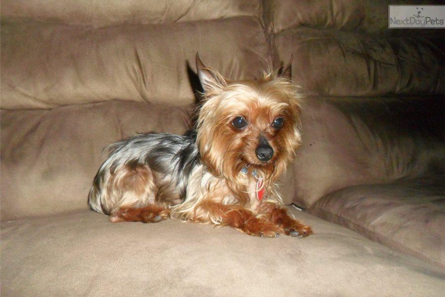 Yorkshire Terrier Yorkie Puppy For Sale Near St Louis Missouri