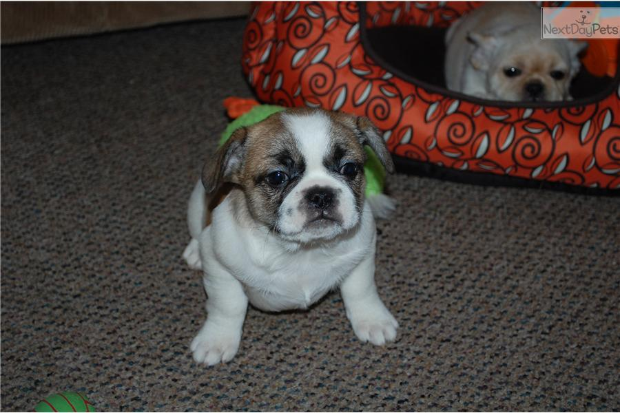 french bulldog for sale mn french bulldog puppy for sale near st cloud minnesota 6633