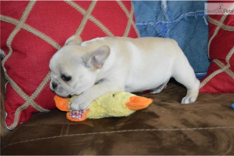 French Bulldog puppy for sale near St Cloud, Minnesota