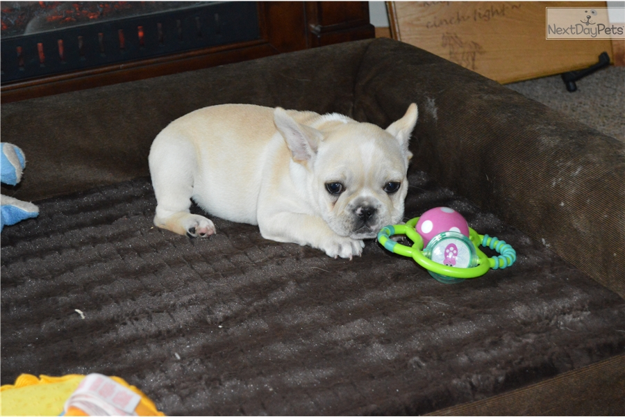 french bulldog for sale mn french bulldog puppy for sale near st cloud minnesota 8546