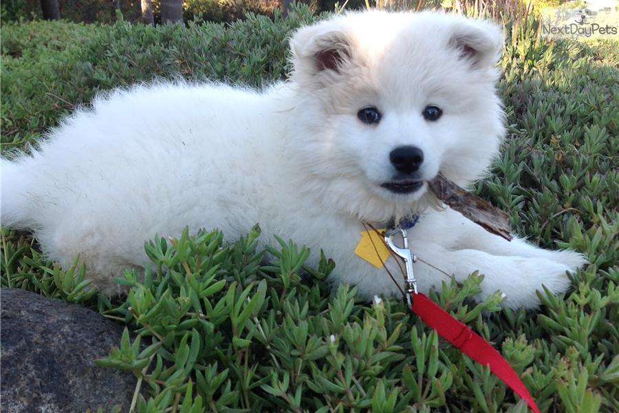 American Eskimo Dog puppy for sale near San Diego ...