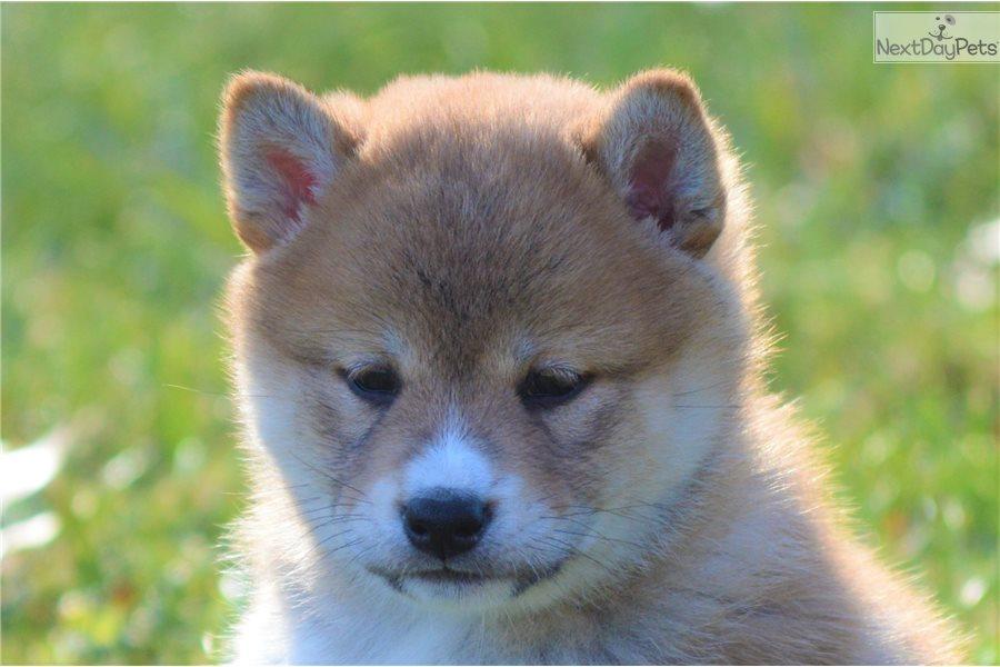 Pumpkin Shiba Inu Puppy For Sale Near Mansfield Ohio 38e4646f 49e1