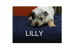 Picture of an Australian Cattle Dog/Blue Heeler Puppy