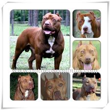 View full profile for ON THE RISE PITBULLS