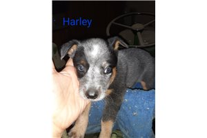 Harley | Puppy at 5 weeks of age for sale